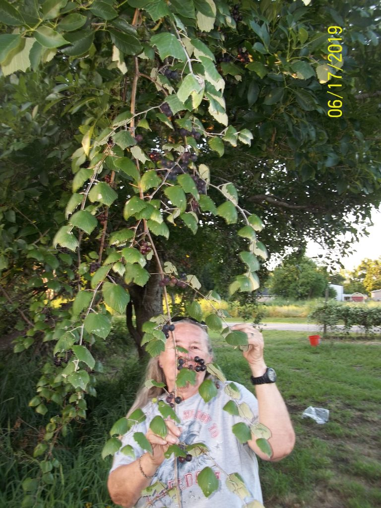 "Sheila standing under the female wild muscadine grape vines. The grapes go up in the tree over 40' ! The base of the main vine is 4-5"" in diameter and no telling how old!"